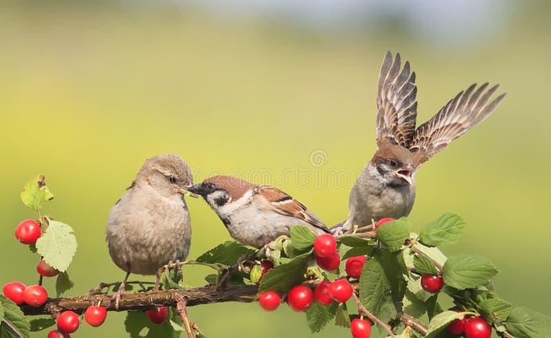 Gorriones de los pájaros que se sientan en una rama con la cereza de las bayas fotos de archivo libres de regalías