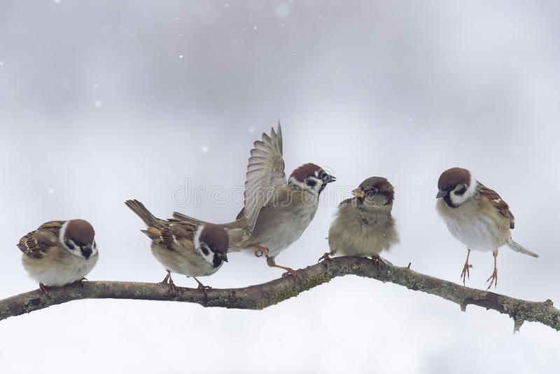 Gorriones en día nevoso del invierno fotografía de archivo libre de regalías