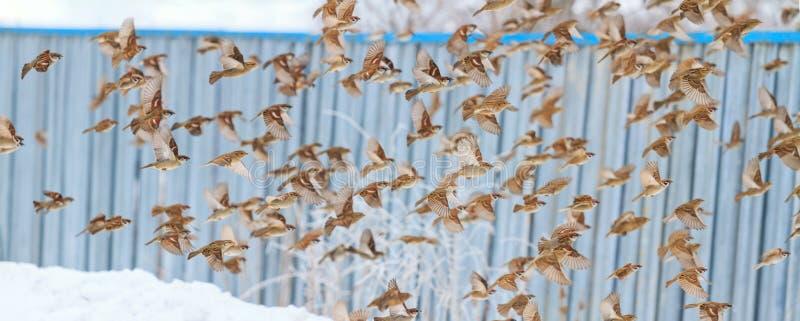 Gorriones en el vuelo del invierno contra la perspectiva de la cerca fotografía de archivo libre de regalías