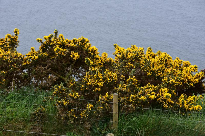Gorse Bushes Above Fleswick Bay in Cumbria England. Yellow flowering gorse bushes above Fleswick Bay in Cumbria royalty free stock photography