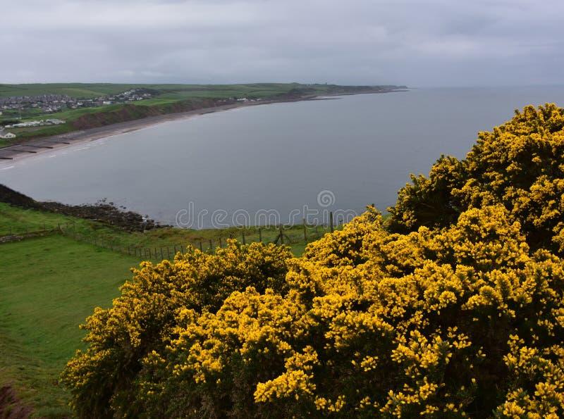 Gorse Bushes on the Sea Cliffs Above the Irish Sea. Stunning blooming gorse bushes on the sea cliffs above the Irish Sea royalty free stock photo