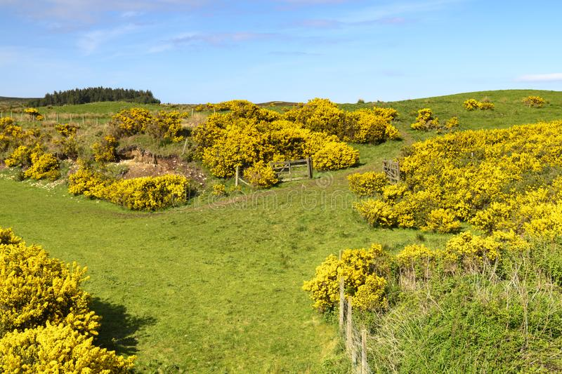 Ulex europaeus. Gorse bushes, Ulex europaeus, on the banks of the Halladale River in Sutherland, Scotland. 23 May 2018 royalty free stock photo