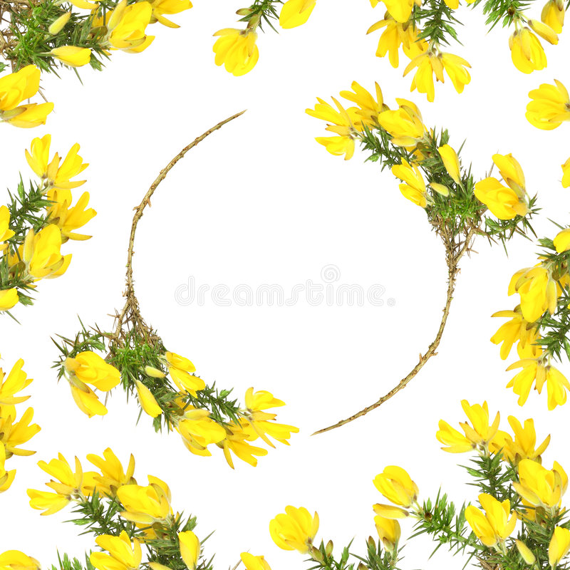 Gorse Flower Beauty. Gorse flower abstract circular design forming a border over white background stock image