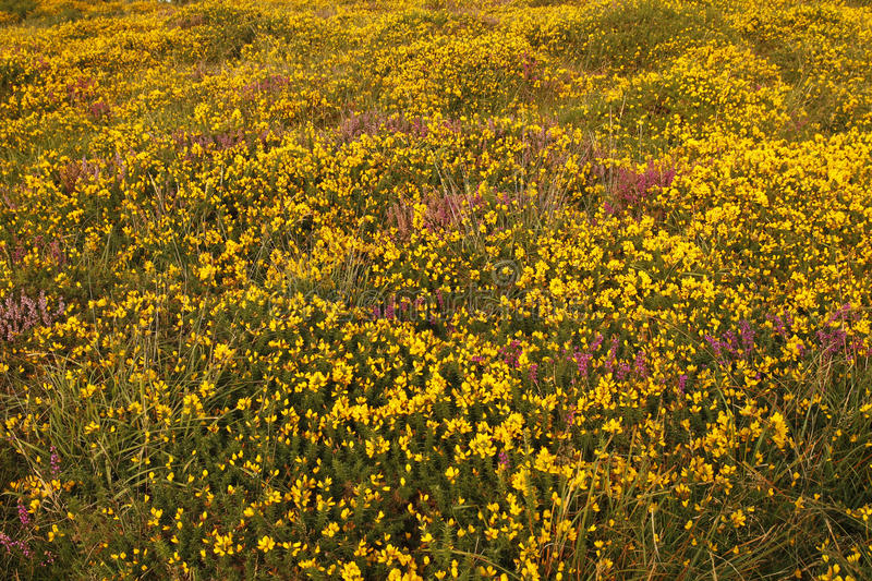Gorse & Heather stock images