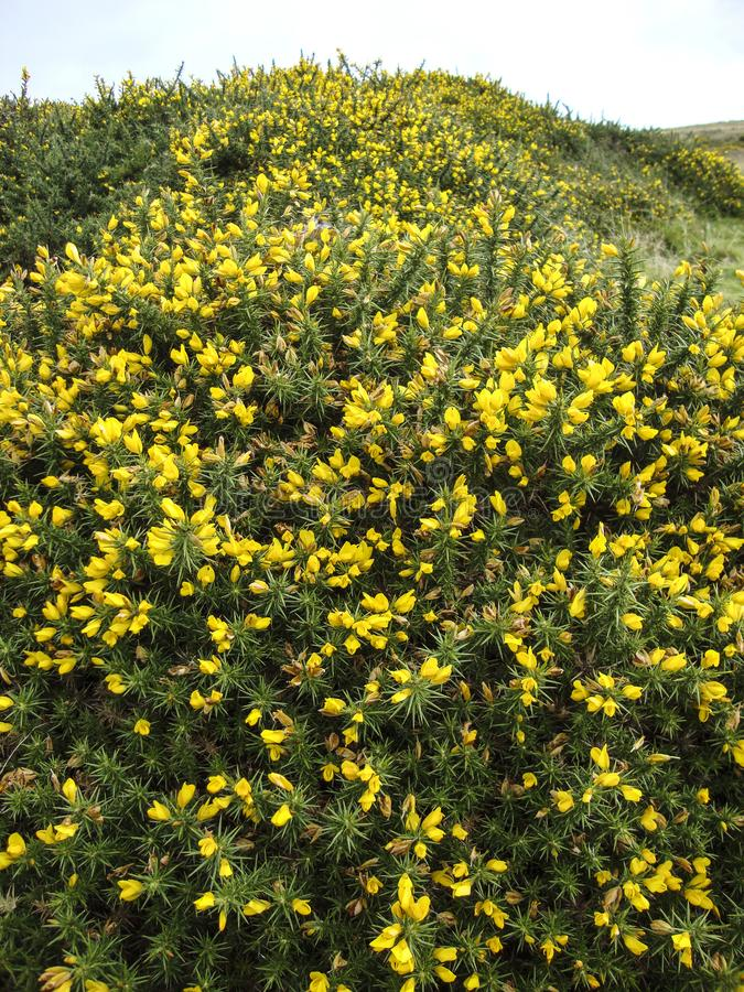 Detailed view of yellow gorse flowers on Dartmoor, Devon England. Gorse is very prickly but its bright colours compensate. It makes for a golden landscape on stock photos