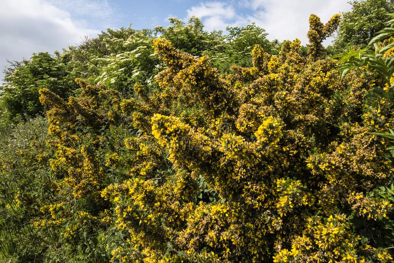 Detailed view of yellow gorse flowers on Dartmoor, Devon England. Gorse is very prickly but its bright colours compensate. It makes for a golden landscape on royalty free stock photography