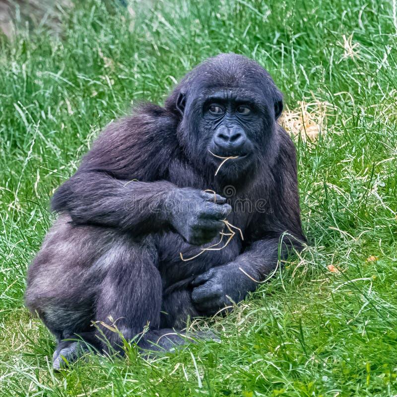 Goryl, potomstwo małpa fotografia royalty free