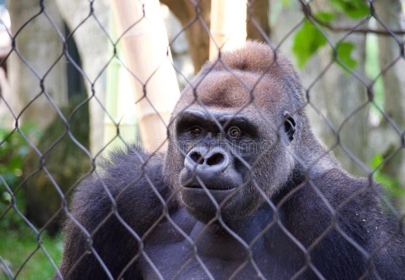 Goryl w niewoli zdjęcia stock