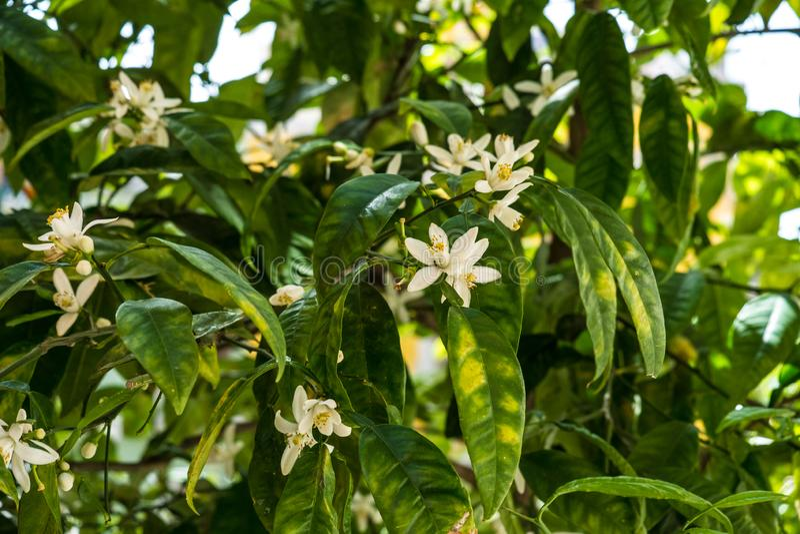 Gorzcy pomarańczowego drzewa kwiaty i owoc zdjęcie stock