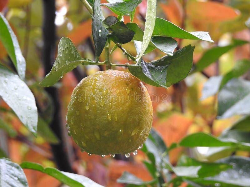 Gorzka pomarańcze obrazy stock