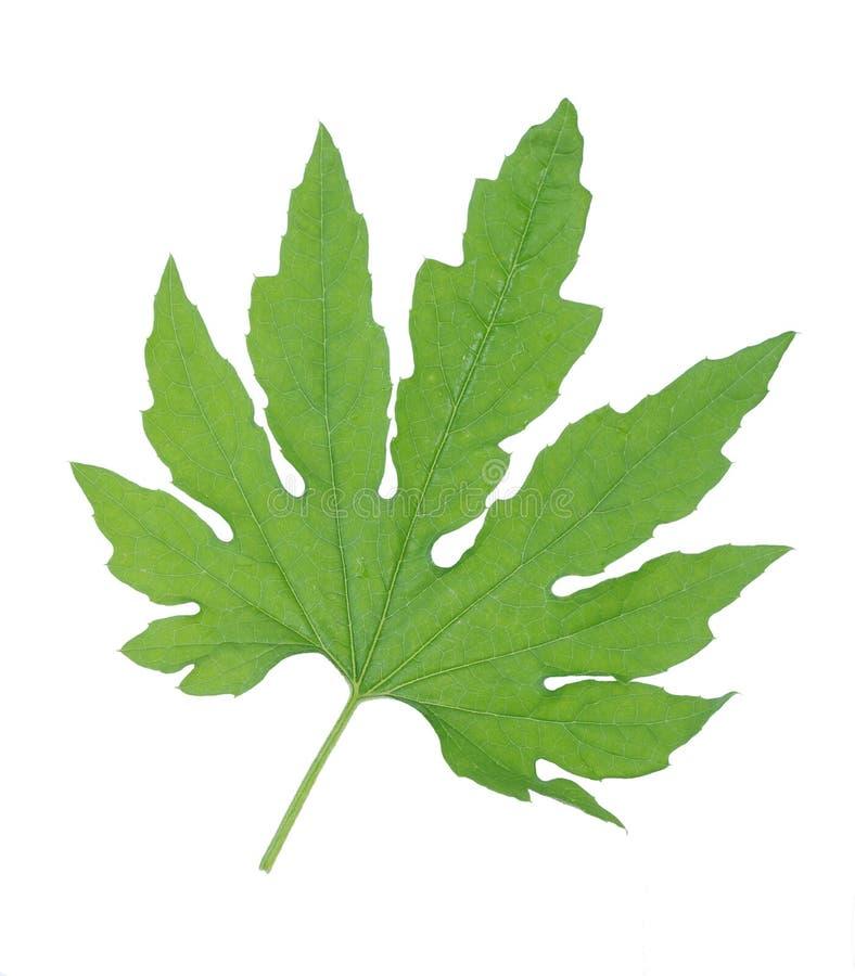 Gorzki melonowy liść obrazy stock