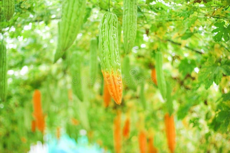 Gorzki melonu lub momordica charantia obwieszenie w organicznie warzywa gospodarstwie rolnym, naturalny wzoru tło obraz stock