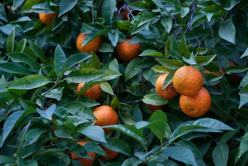 Gorzki pomarańczowego drzewa cytrusa aurantium zdjęcie stock