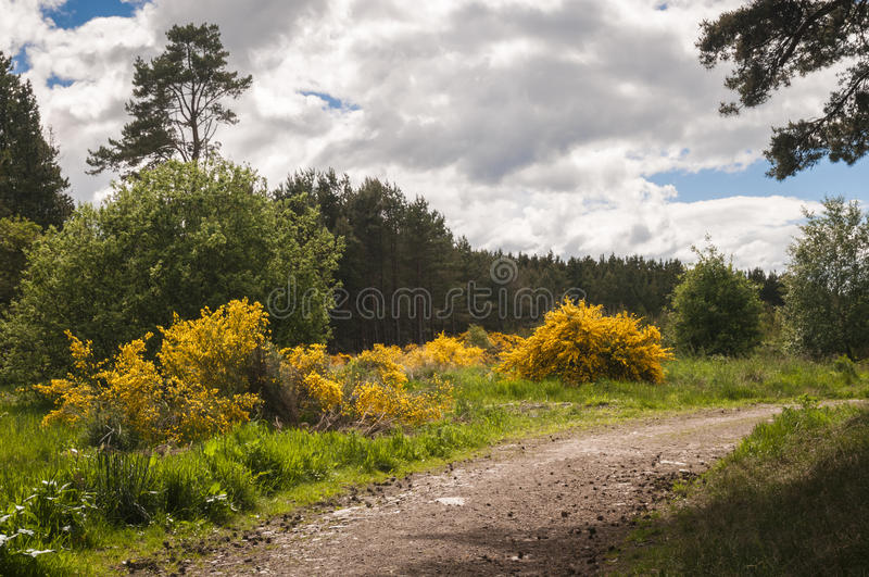 Gose bush and track. Image of a Gorse bush, Ulex and forest track in Roseisle forest, Moray, Scotland stock images