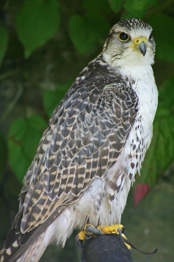 Goshawk. A goshawk resting on a tree branch royalty free stock photo