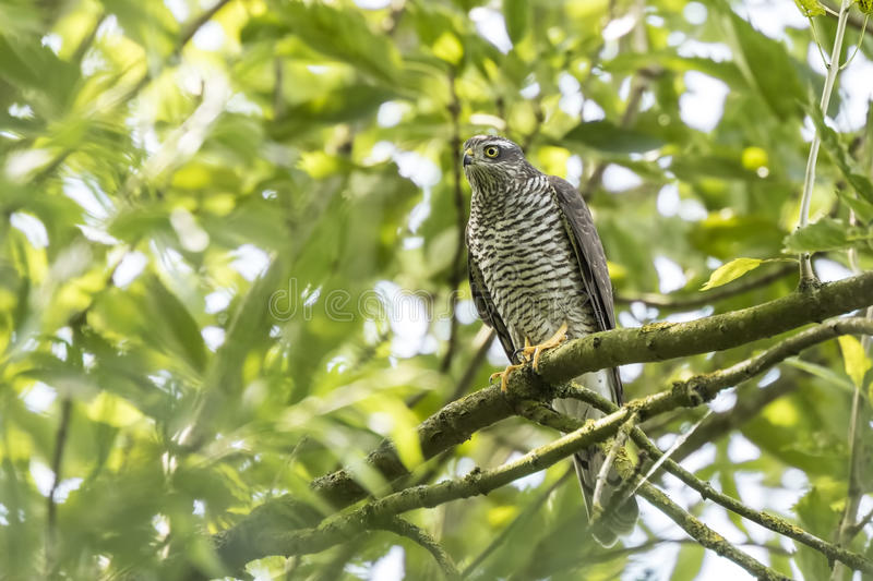 Goshawk, Accipiter gentilis, perched in a tree stock photos