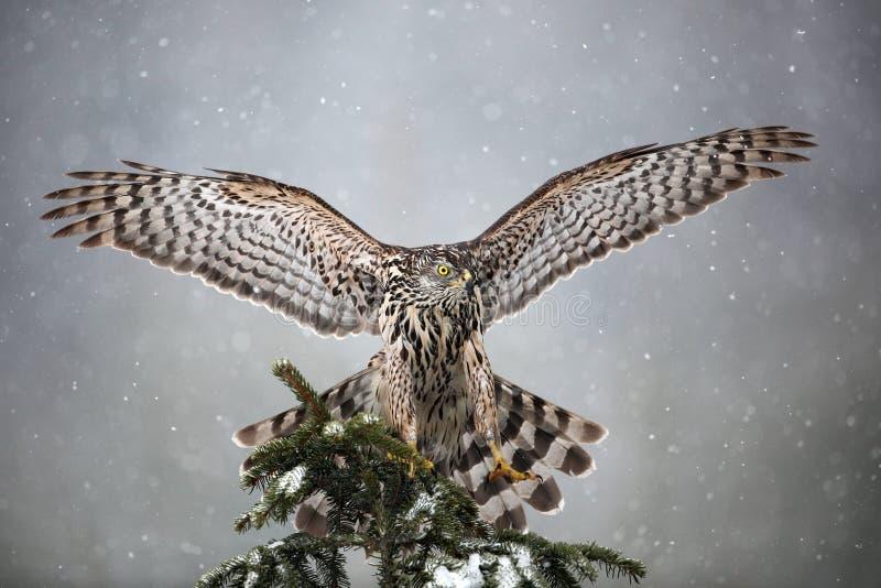 Goshawk die op nette boom tijdens de winter met sneeuw landen royalty-vrije stock fotografie