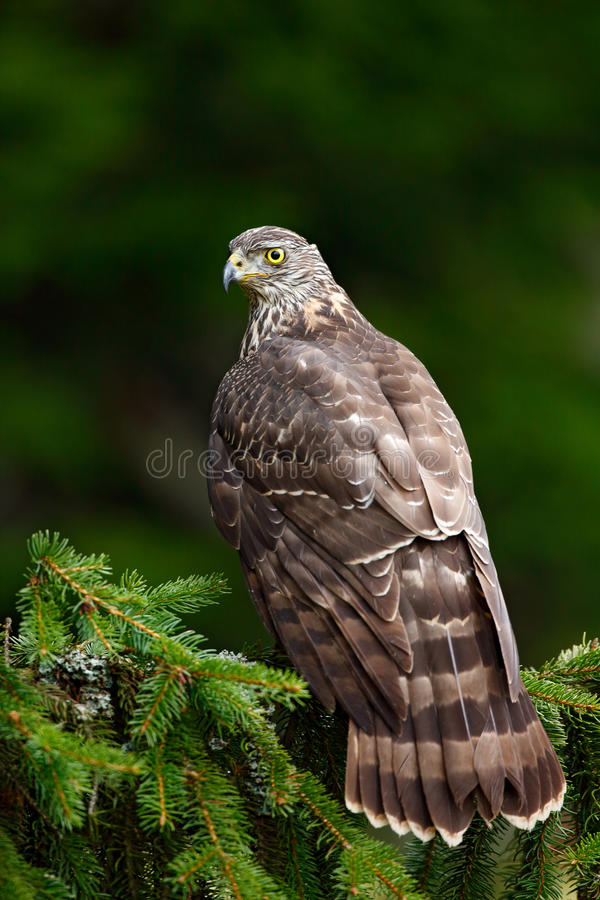 Goshawk with evening sun back light, nature forest habitat in the background, landing on tree trunk, Sweden. Aciton wildlife scene stock image