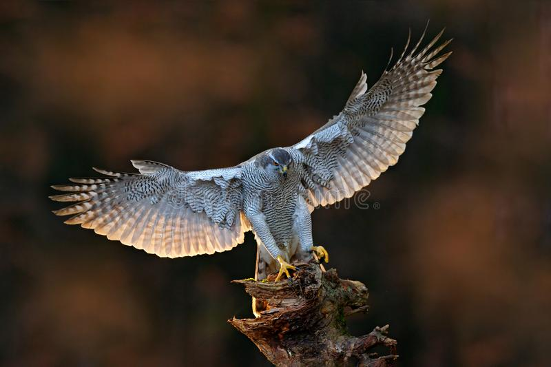 Goshawk flying, bird of prey with open wings with evening sun back light, nature forest habitat, Czech. Wildlife scene from autumn. Nature. Bird fly landing pn royalty free stock image