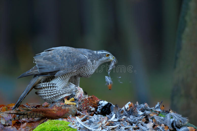 Goshawk kill Common Pheasant on the grass in green forest, bird of prey in the nature habitat, Norway. Goshawk kill Common Pheasant on the grass in green forest stock photo