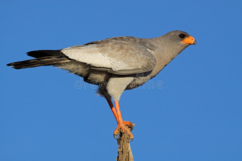Download Goshawk, South Africa stock image. Image of park, pale - 9846945