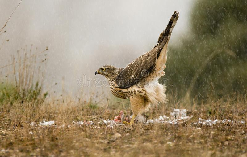 Goshawk under the rain with a prey. Young goshawk under the rain with a prey stock photos