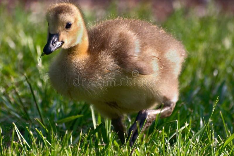 Gosling photographie stock libre de droits