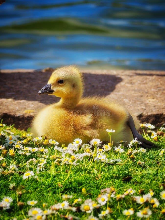 gosling arkivfoto
