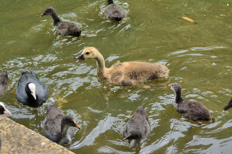 Gosling (canada goose)surrounded by coot chicks royalty free stock images