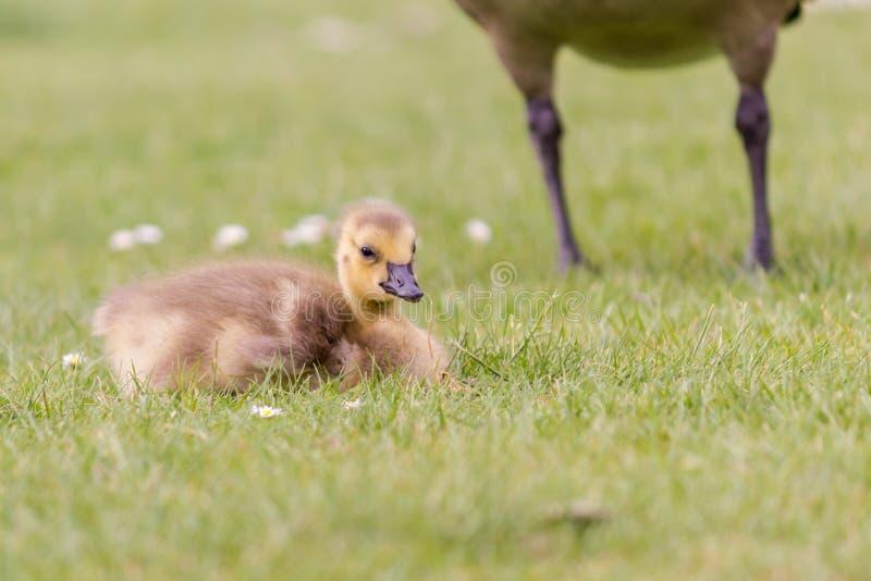 Gosling en la hierba - un ganso recién nacido de Canadá imagenes de archivo