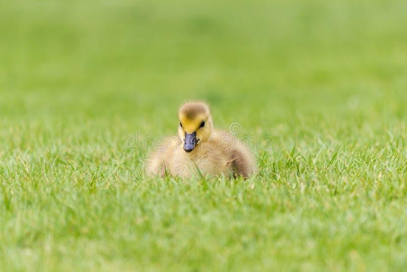 Gosling en la hierba - un ganso recién nacido de Canadá fotos de archivo