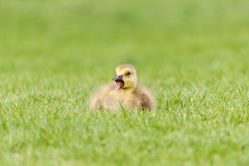 Gosling en la hierba - un ganso recién nacido de Canadá imágenes de archivo libres de regalías