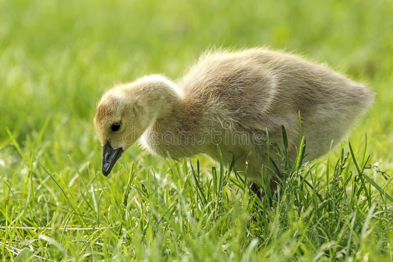 Gosling en parc de Manito à Spokane, Washington images stock