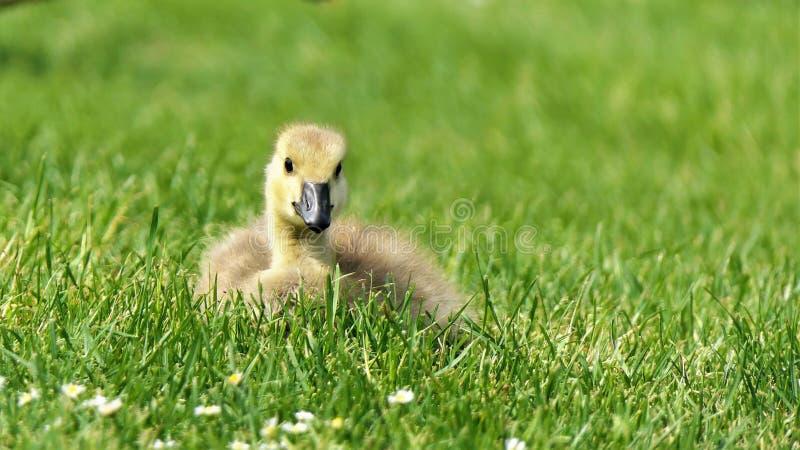 Gosling greylag goose x canada goose stock image