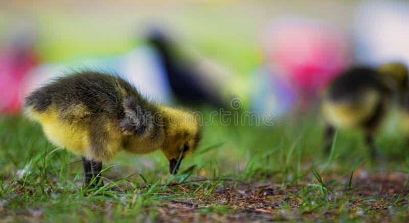 Gosling stock photography