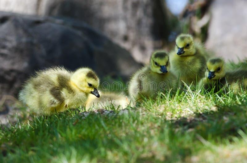 Gosling recién nacido que mira de cerca en la hierba foto de archivo libre de regalías