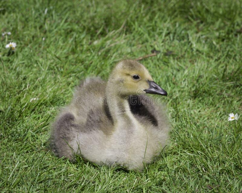 Gosling s'étendant dans l'herbe photos libres de droits