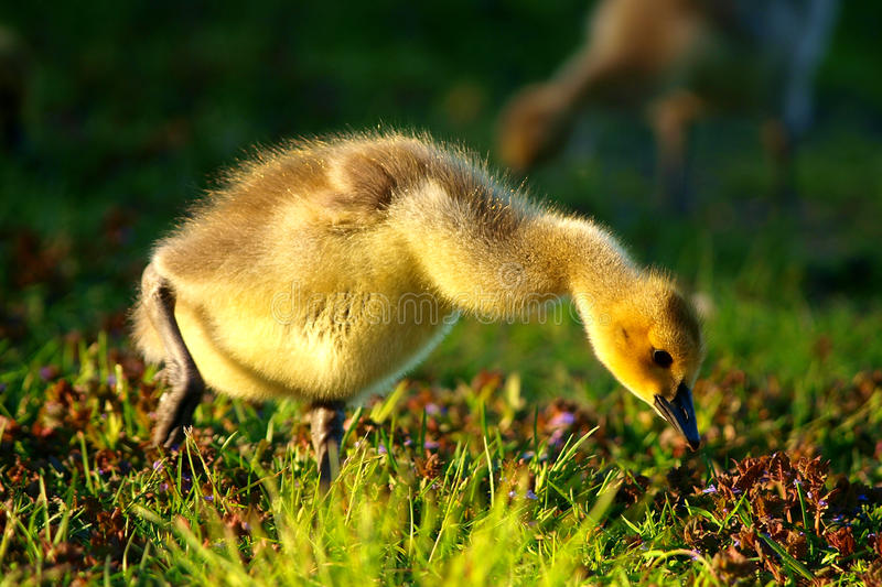 Gosling In Spring royalty free stock photography