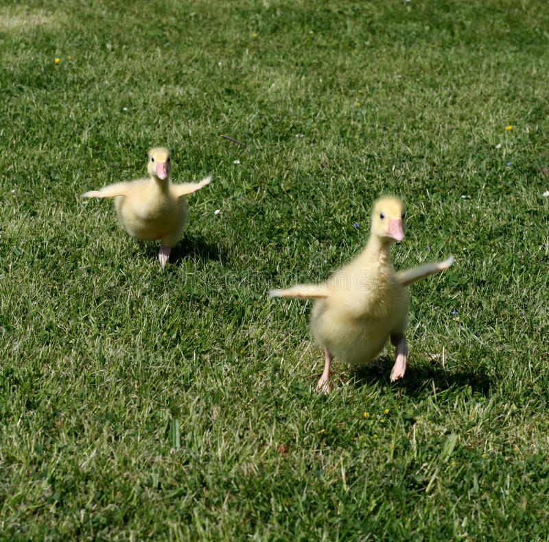 Gosling sprint. Small cute goslings sprint on the grass royalty free stock photo