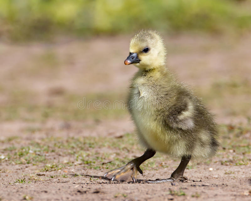 Gosling stock photos