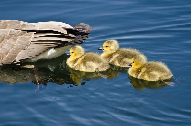 Goslings Staying Close to Mom stock images