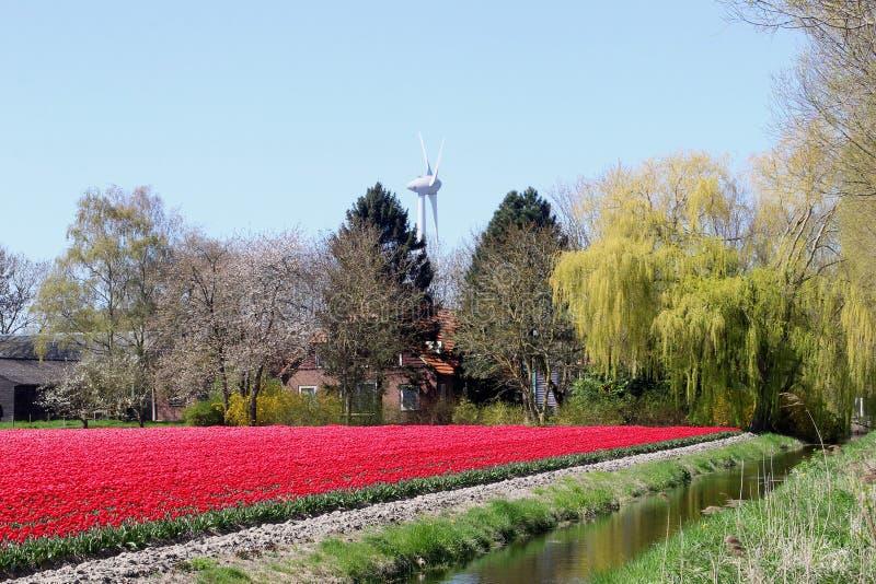 Gospodarstwo rolne i windturbine między tulipanami, Flevoland, Noordoostpolder, holandie obraz stock
