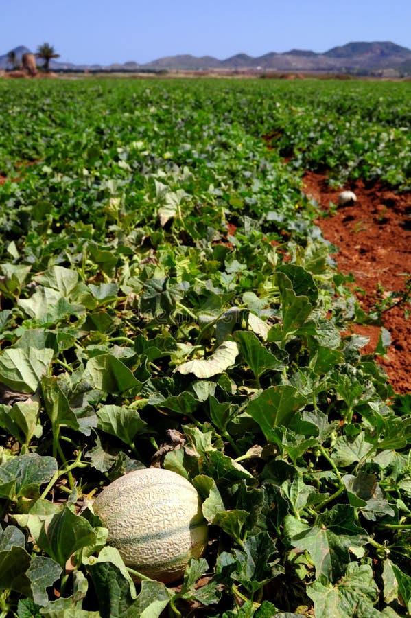 gospodarstwo rolne odpowiada melon plantację obraz royalty free
