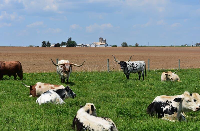 Gospodarstwo rolne w Lancaster okręgu administracyjnym Pennsylwania z longhorn krowami zdjęcie stock