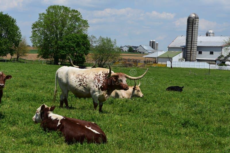 Gospodarstwo rolne z bydłem Odpoczywa w Wielkim polu w Pennsylwania zdjęcie royalty free