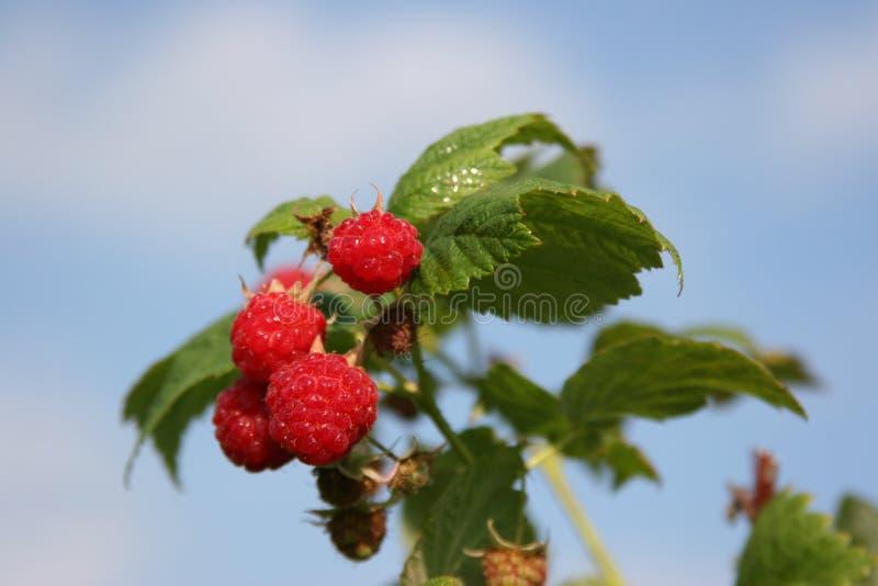 goss фермы ягоды стоковые изображения rf