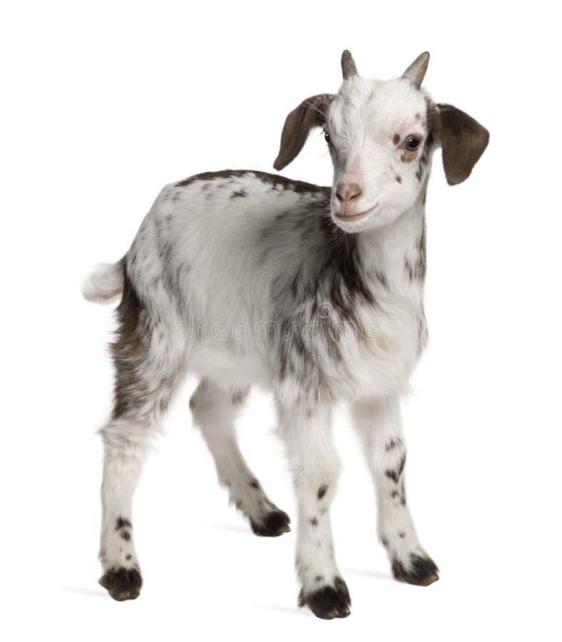 Gosse de chèvre de mèche, 1 mois, position images stock