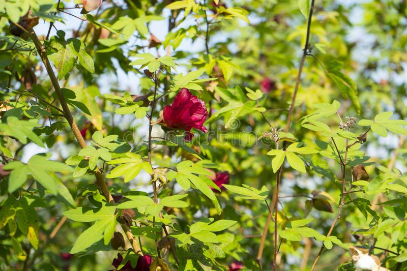 A reddish-brown fully bloom flower of cotton tree. royalty free stock images