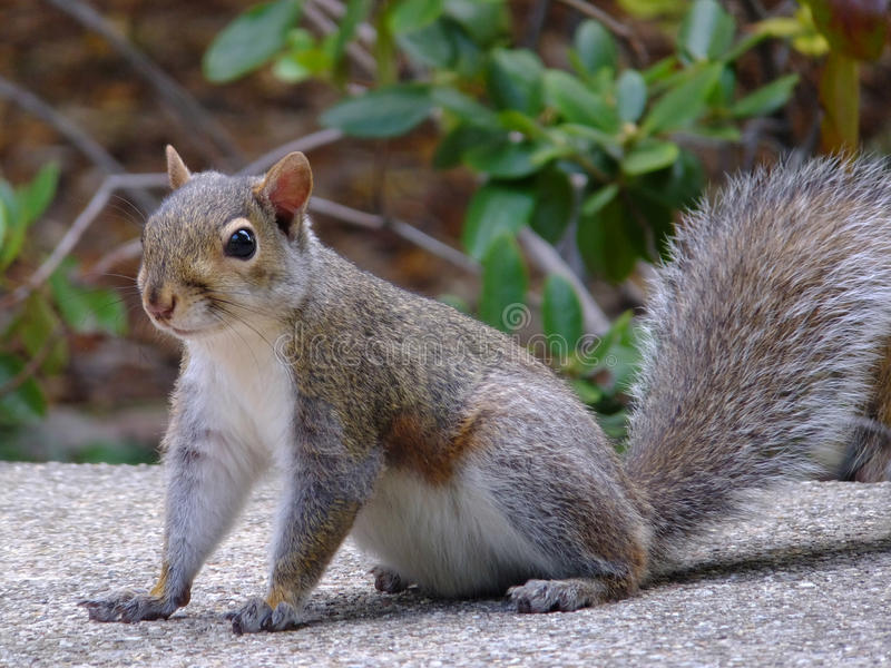 Got Food?. Alert well fed squirrel dragging his big belly along royalty free stock image