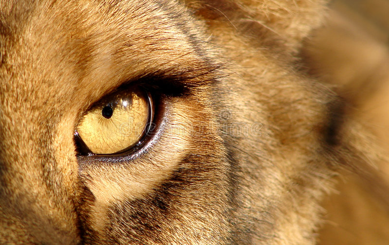 Got my eye on you. Close up of lion eye